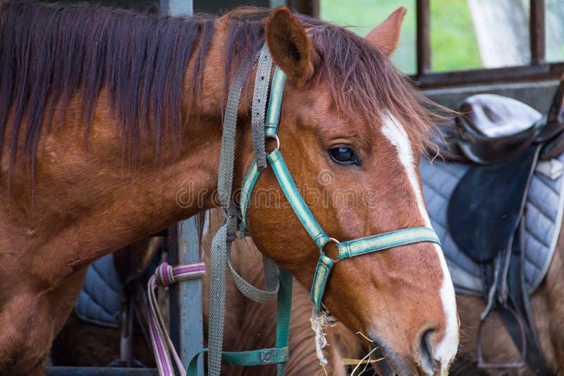 Häst med mörk man och en vit lapp längs näsan i profil på en närbild för solig dag royaltyfri foto
