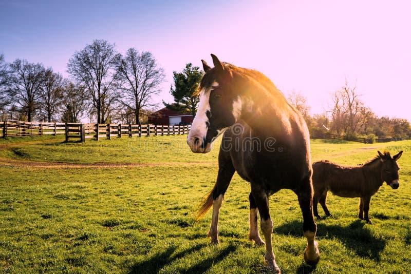 Häst och Donkeyon lantgården på solnedgången arkivbilder