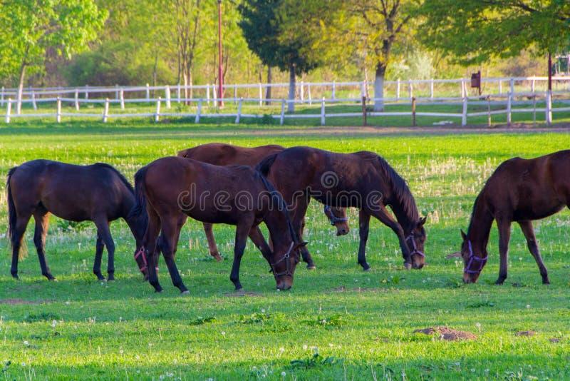 Häst och flock av hästar arkivfoto