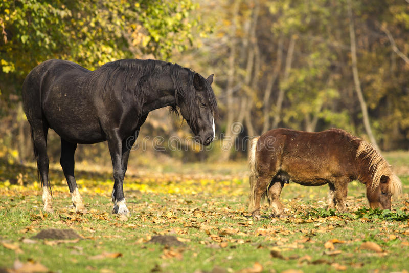 Häst och ponny i gult fält arkivbild