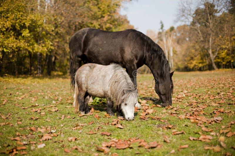 Download Häst och ponny i gult fält fotografering för bildbyråer. Bild av natur - 27288067