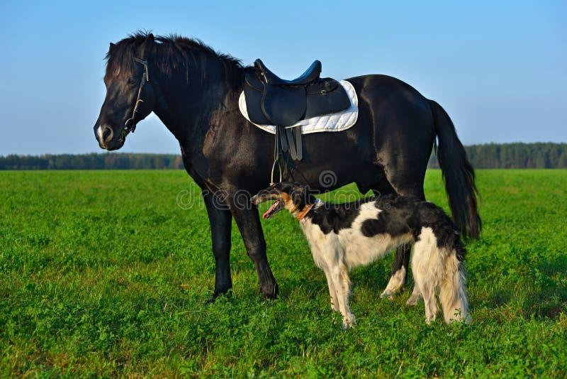 Häst- och rysk vinthundhund royaltyfri fotografi