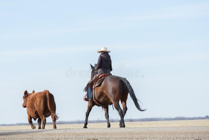 Häst och ryttare som samlas kor arkivbild