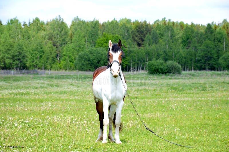 Häst på ängen royaltyfri bild