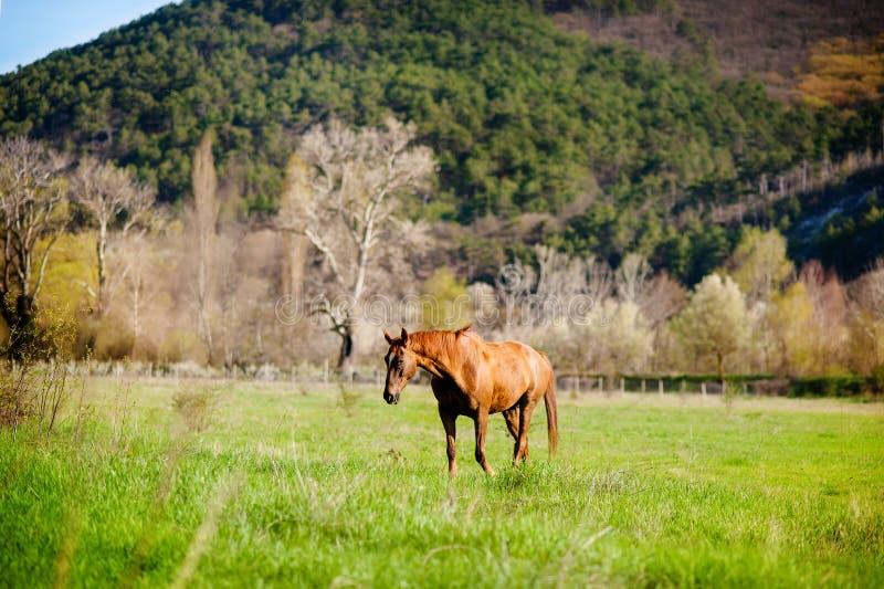 Häst på ängen Häst som äter gräs på bakgrunden av det gröna fältet Landsvårlandskap by arkivfoton