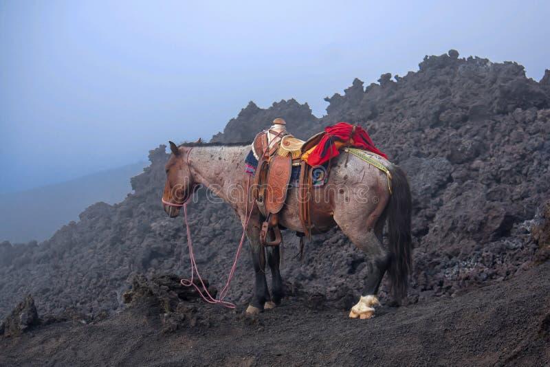 Häst på den Pacaya vulkan arkivfoton