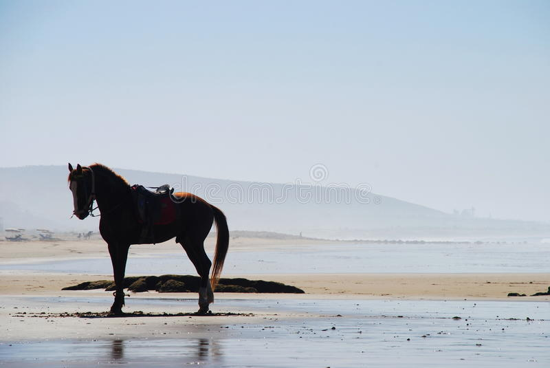 Häst på stranden Taghazout Souss-Massa-Drâa morocco arkivfoto