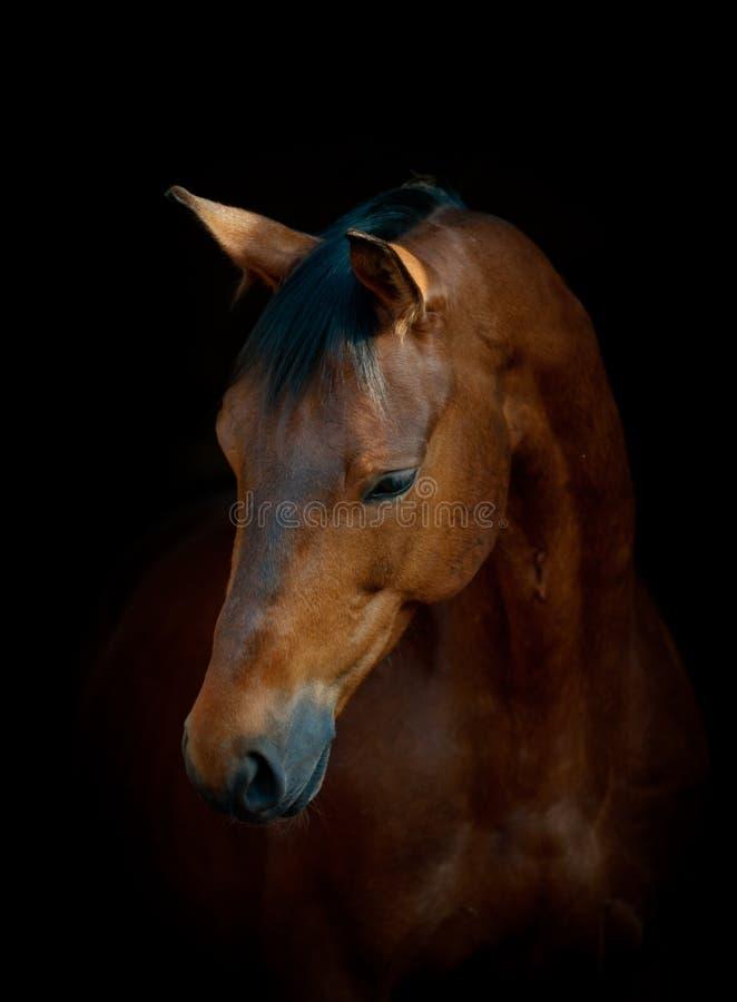 Häst på svart royaltyfria foton