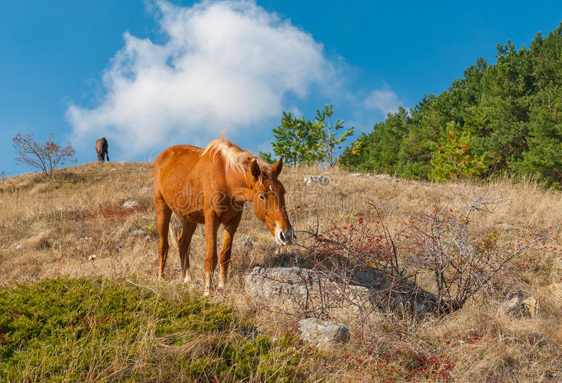 Häst som äter favorit- läckra höftbär i Crimean berg fotografering för bildbyråer