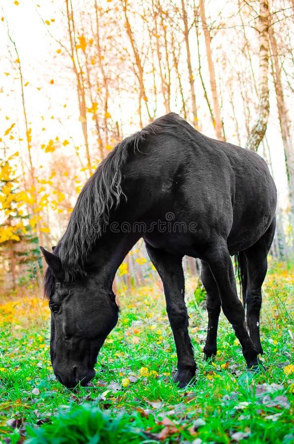 Häst som äter gräs i skogen, grund DOF arkivbilder
