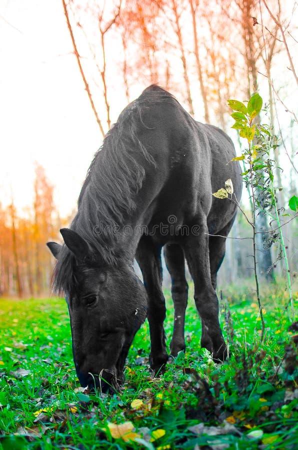Häst som äter gräs i skogen, grund DOF-fokus på ögon arkivbild