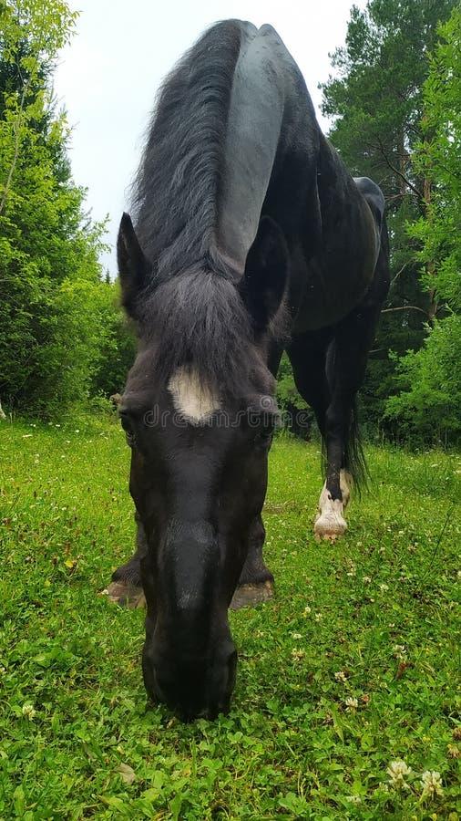 Häst som äter gräs och att le royaltyfri fotografi