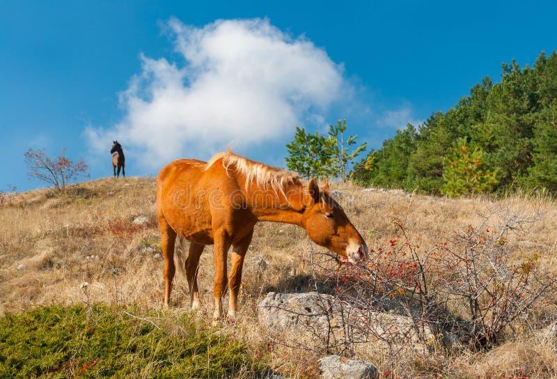Häst som äter höfter i Crimean berg royaltyfri bild