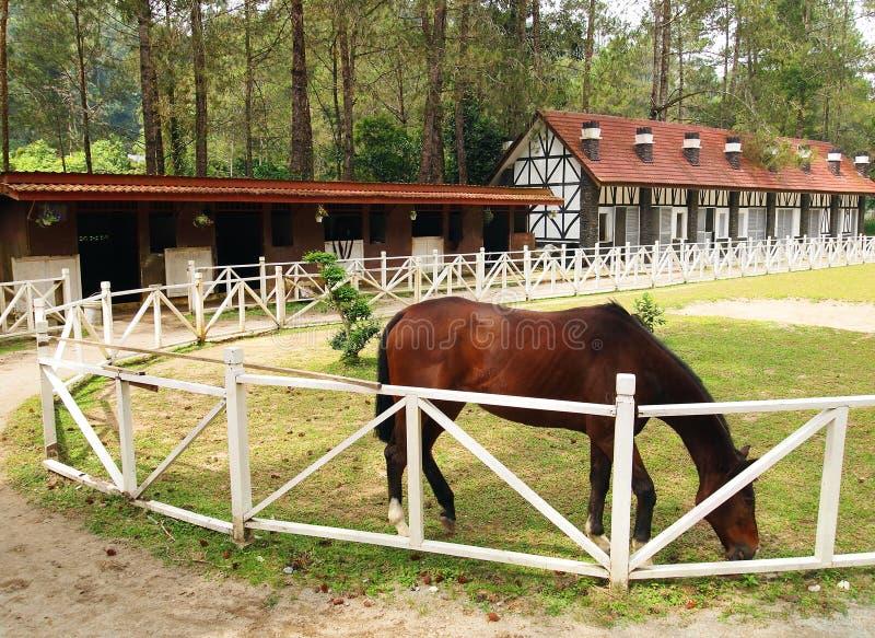 Häst som betar i utomhus- paddock arkivbilder