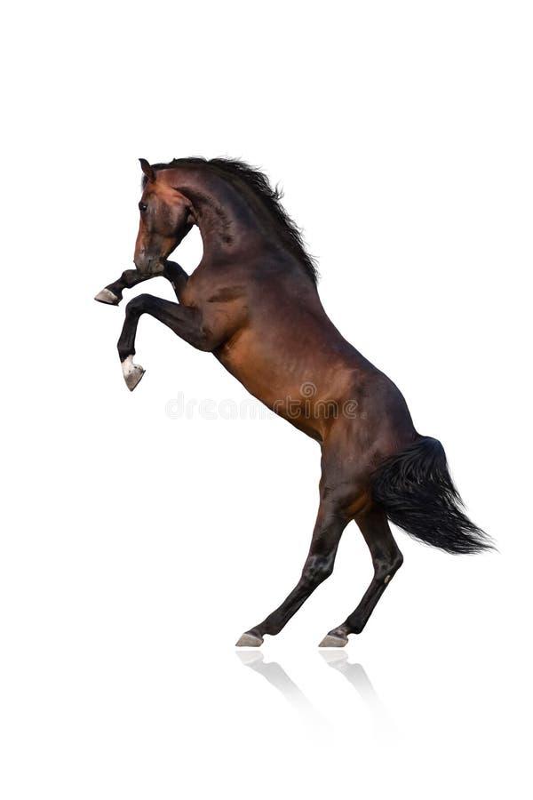 häst som fostrar upp arkivbilder