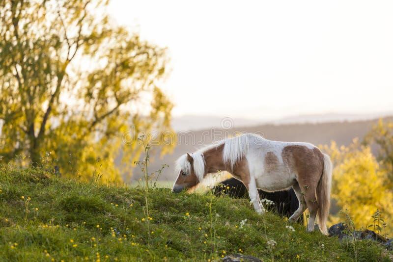 Häst som gräs rätt för solnedgång royaltyfri fotografi