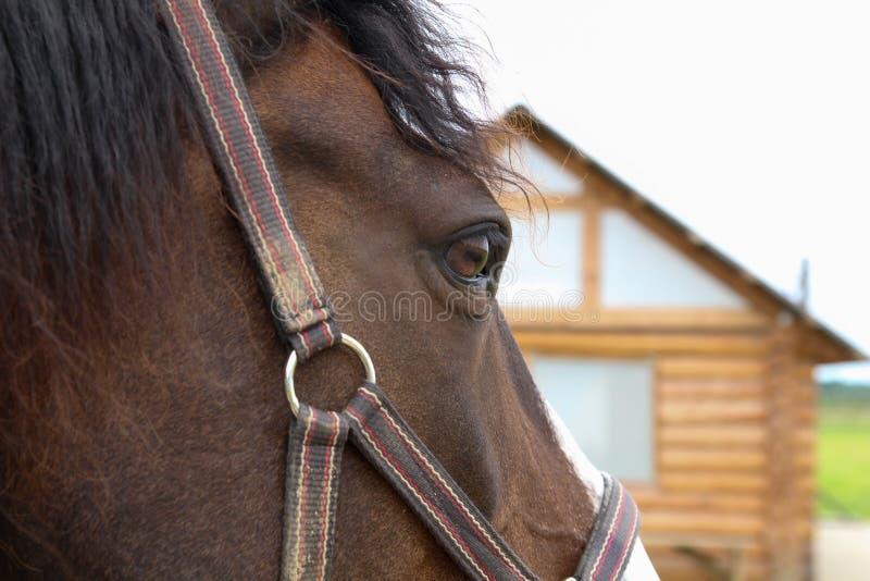 Häst som håller ögonen på och tänker Ögat Stående för fjärdedelhästhuvud arkivfoton