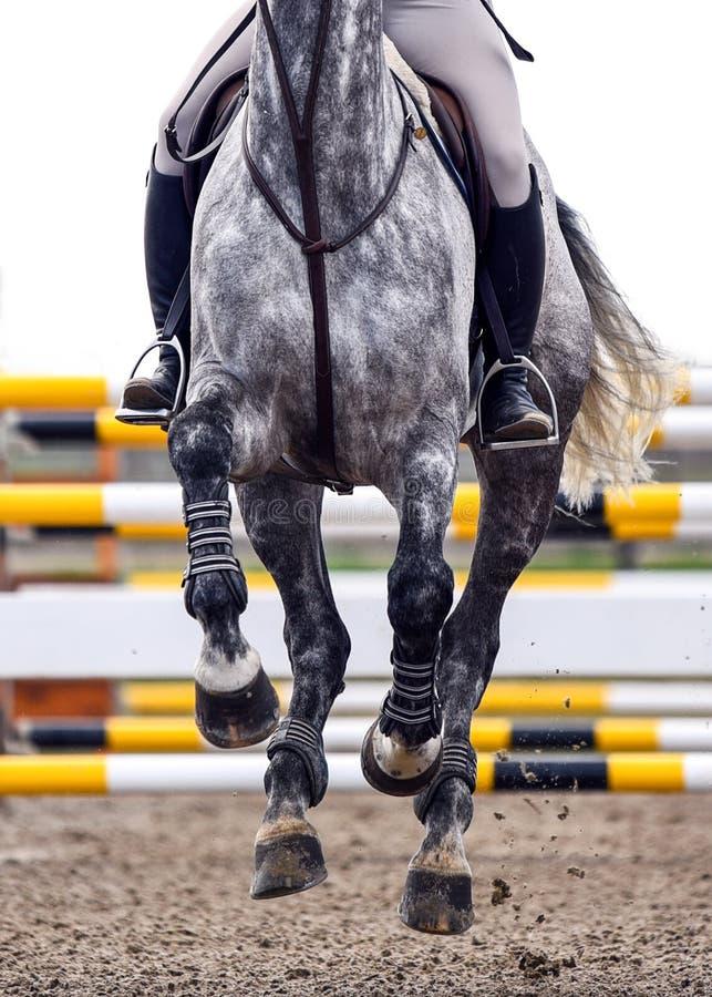 Häst som kör under en konkurrens för showbanhoppning arkivfoto
