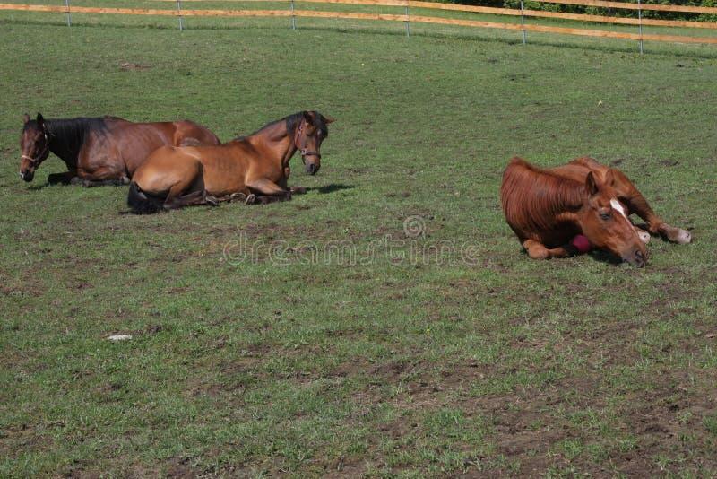 Häst som ner lägger royaltyfri fotografi