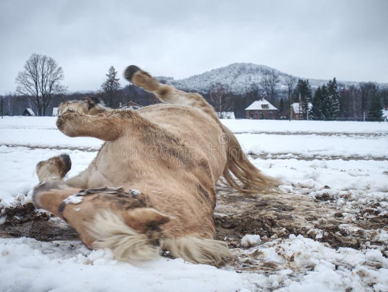 Häst som ner ligger och spelar i ny snö royaltyfria foton