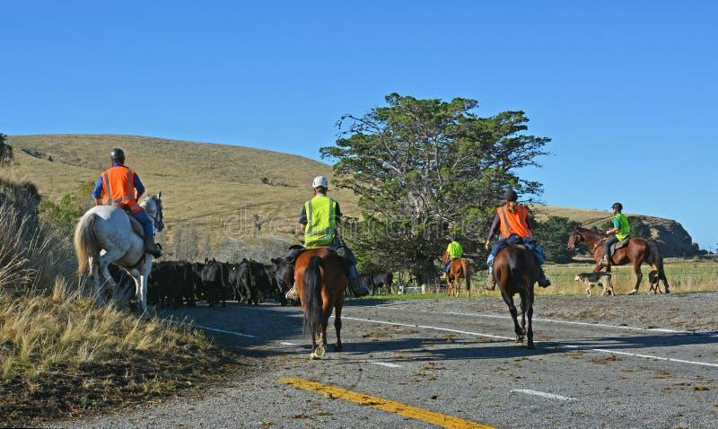 Häst som samlar nötkreatur på bankhalvön, Nya Zeeland arkivfoto