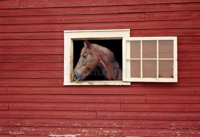 Häst som ser ut ur Stallfönster av den röda ladugården arkivbild