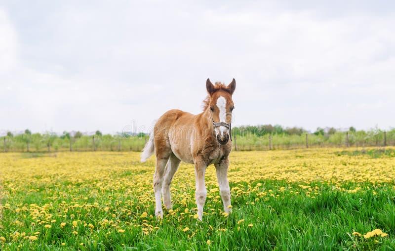 Häst som står på ett fält med maskrosor Häst i naturen royaltyfria bilder