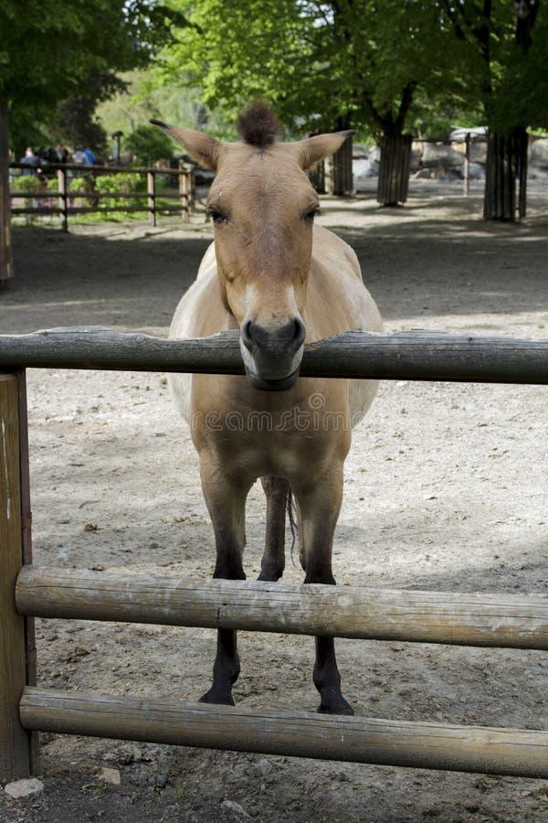 Häst zoo som är lös, przewalski, djur, equus, mongolian, natur, hästar, härligt, utsatt för fara som är asiatiska, przewalskii so arkivbilder