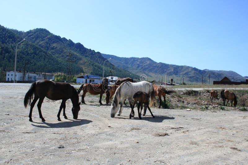 Hästar betar fritt i en liten by arkivbild