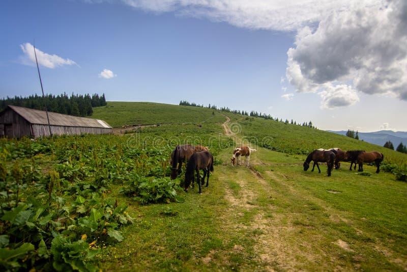 Hästar betar i Poloninen i de Carpathian bergen ukraine royaltyfria foton