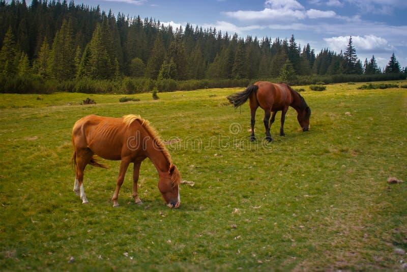 Hästar betar i Poloninen i de Carpathian bergen ukraine fotografering för bildbyråer