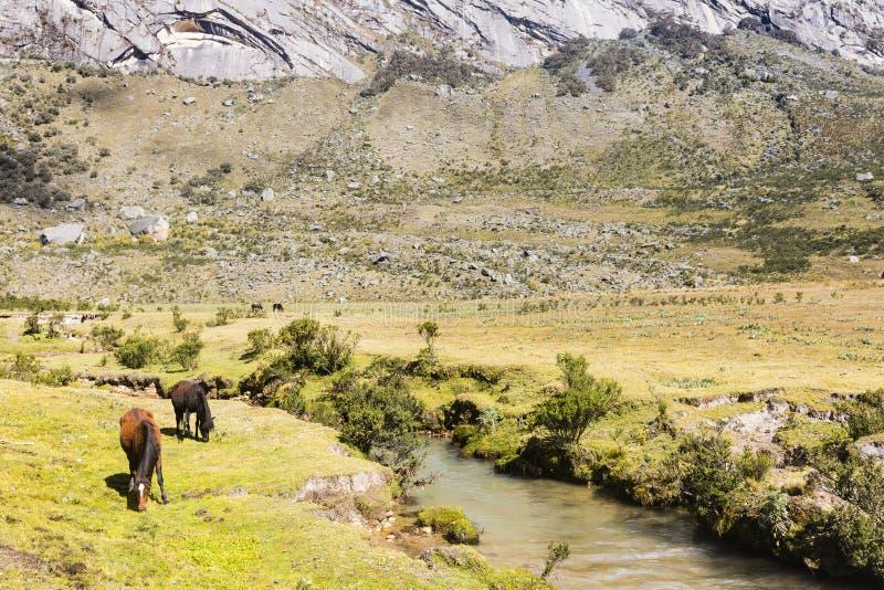 Hästar betar längs en ström i den Huascaran nationalparken fotografering för bildbyråer