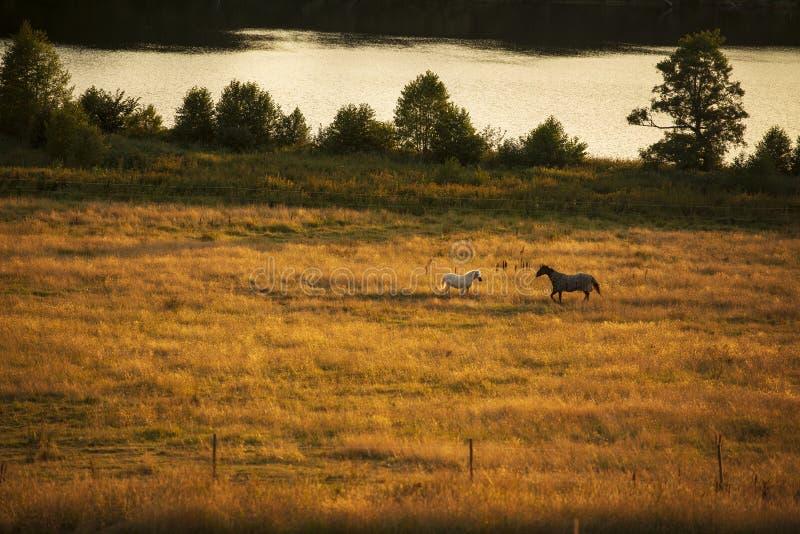 Hästar efter sjö royaltyfria foton