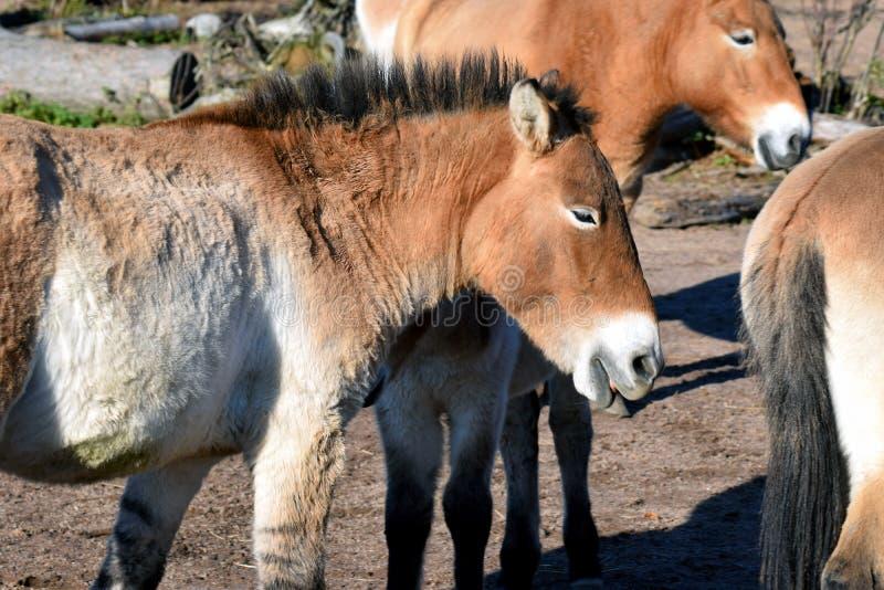 Hästar för Przewalski ` s fotografering för bildbyråer