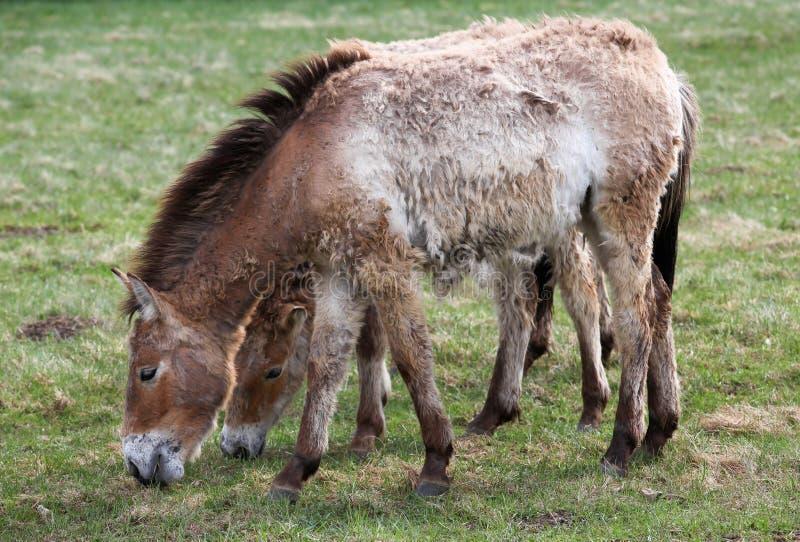 Hästar för Przewalski ` s royaltyfria bilder