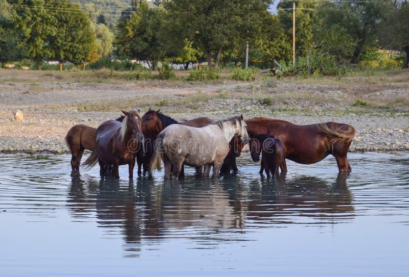 Hästar går i överensstämmelse med en shrinking flod Livet av hästar arkivbild