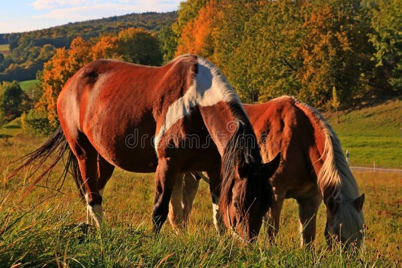 Hästar i ängen arkivfoton