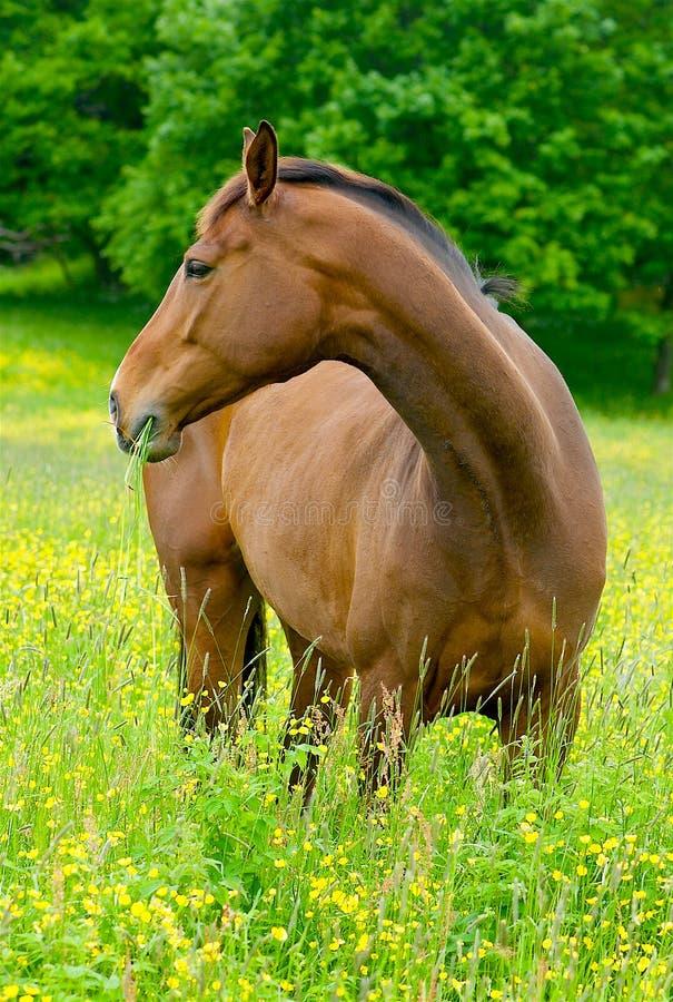 Hästar i det gröna gräset i Sverige fotografering för bildbyråer