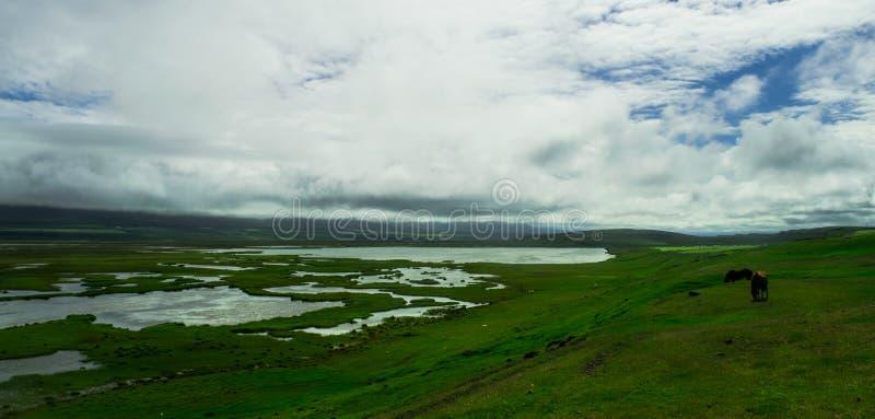 Hästar i ett fält, nordliga Island royaltyfri bild