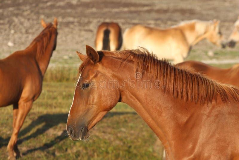 Hästar i ett fält i Sverige i sommaren fotografering för bildbyråer
