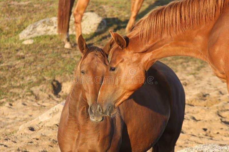 Hästar i ett fält i Sverige i sommaren arkivbilder