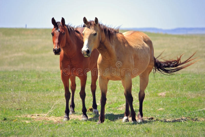 Hästar i fältet royaltyfria foton