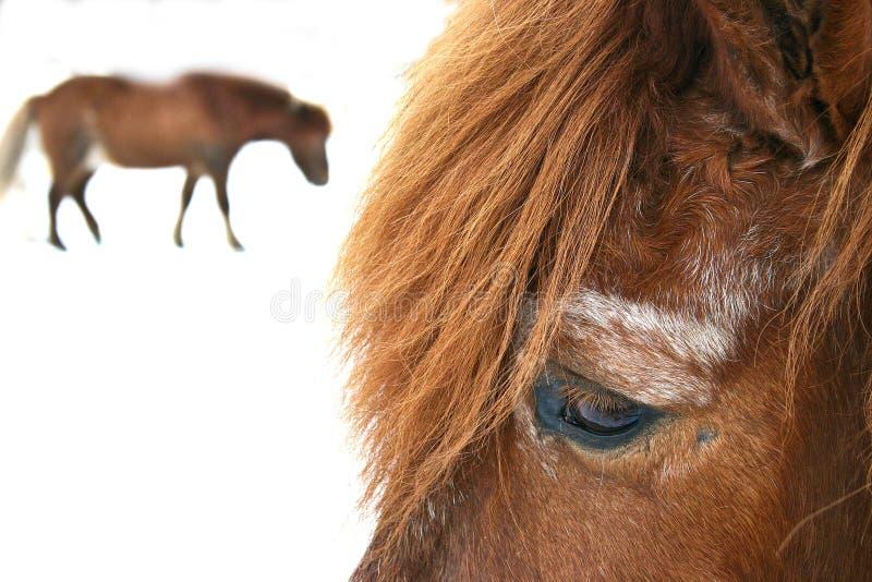 Hästar i vinter arkivfoto