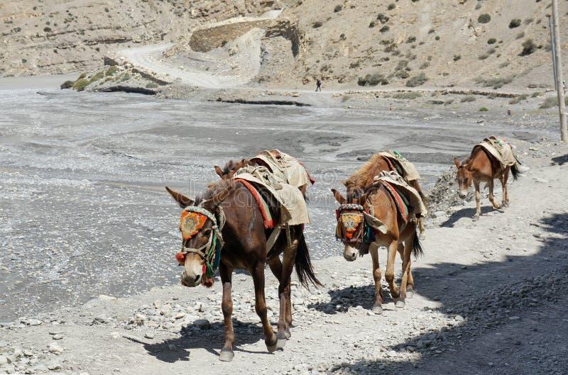 Hästar med en sadel för vagnen av last, går vidare vägen, förbi Kali Gandaki River royaltyfri fotografi