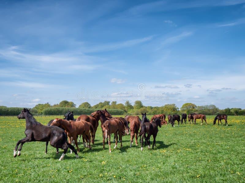 Hästar och föl på en ranch i Danmark arkivbilder
