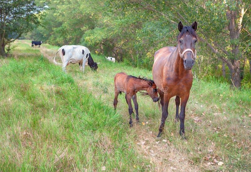 Hästar och kor för lantgårddjur royaltyfria foton