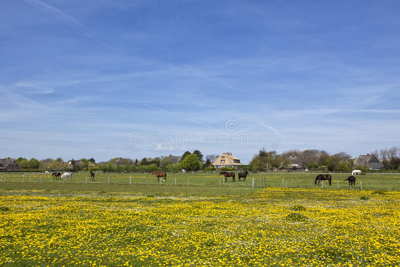 Hästar på äng utanför byn av Keitum, Sylt arkivbilder