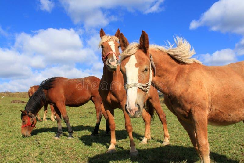 Hästar på betar arkivbild
