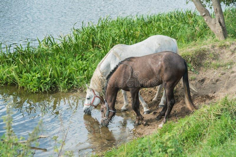 Hästar på en brunnsort på floden royaltyfri bild