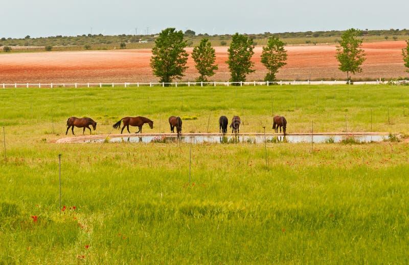 Hästar på en vinodlingegenskap i den sydvästliga regionen av Spanien royaltyfri bild
